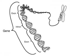 Un gène: exon et intron