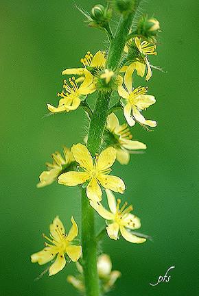 Fleur d'aigremoine