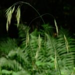 Wild Oat – Folle avoine