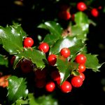 Holly – Houx