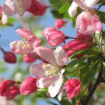 Crab Apple – Pommier sauvage