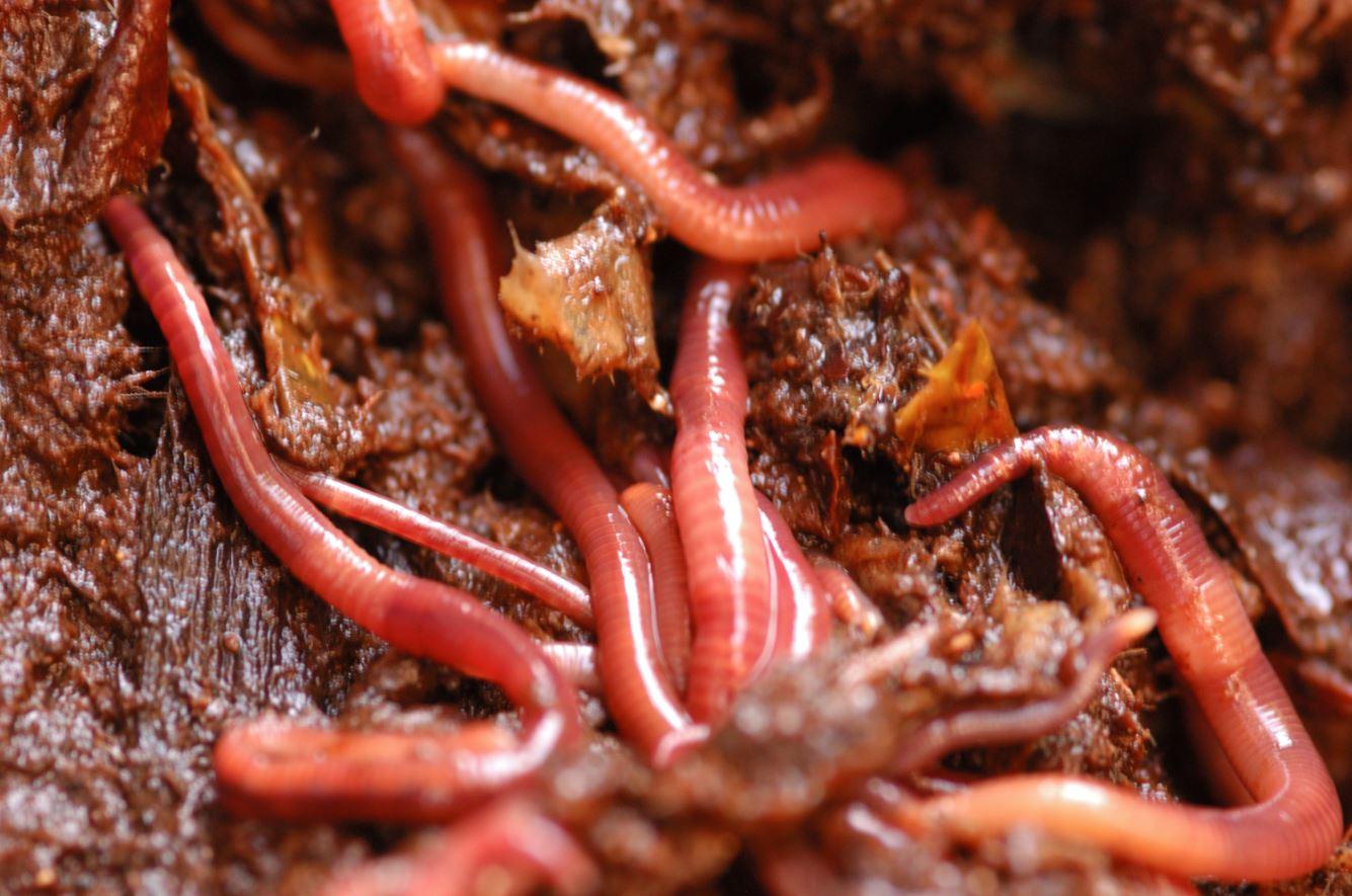 Groupe de vers à compost