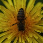 Une abeille qui butine