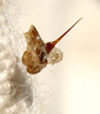 Dard d'une abeille noire (Apis mellifera mellifera) ouvrière arraché de son abdomen suite à une piqûre et resté accroché à une tenue de protection.