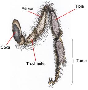 La patte médiane d'une abeille ouvrière