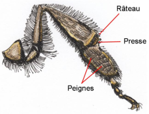 La patte postérieure d'une abeille ouvrière - Vue intérieure