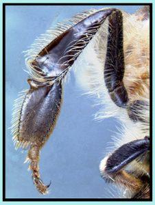 La patte postérieure d'une abeille ouvrière - Vue extérieure avec la corbeille à pollen