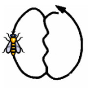 La danse oscillante des abeilles