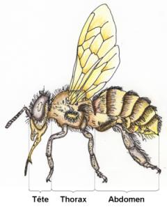 Les 3 parties de l'abeille