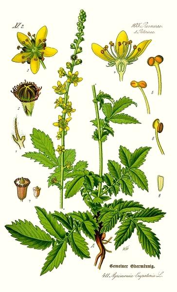 L'aigremoine (Agrimonia eupatoria)