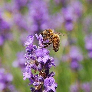 Une abeille butinant une fleur de lavande (© Luc Viatour)