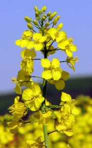 Colza (Brassica napus)