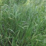 La folle avoine (Bromus ramosus)