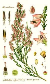 La bruyère callune (Calluna vulgaris)