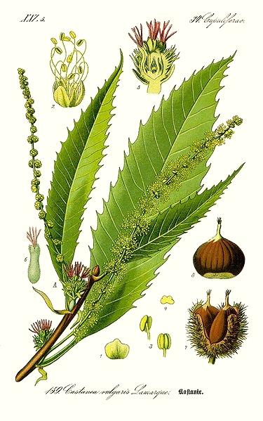 Le châtaignier (Castanea sativa)