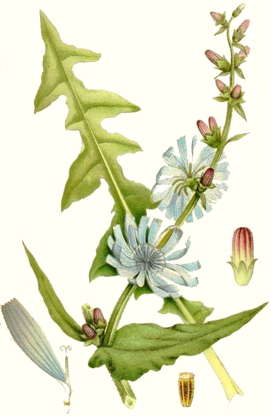 Chicorée (Chicorium intybus)