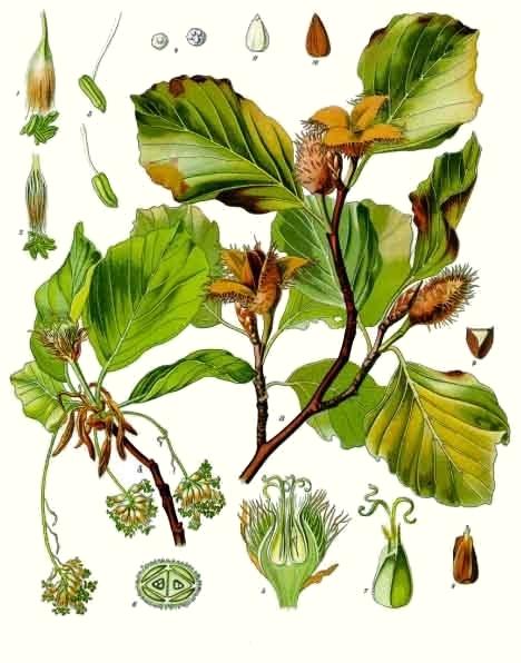 Hêtre (Fagus sylvatica)