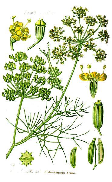 Le fenouil (Foeniculum vulgare)
