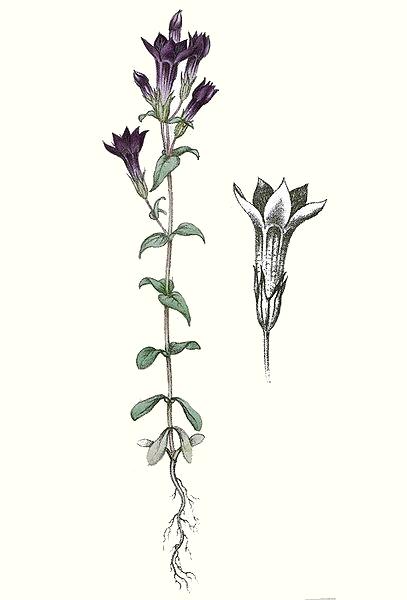 Gentiane (Gentiana amarella)