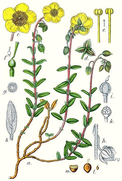 Hélianthème commun (Helianthemum nummularium)