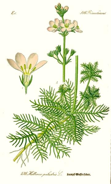 L'hottonie des marais (Hottonia palustris)