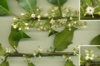 Fleurs de houx: mâles en haut et femelles en bas