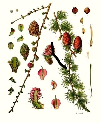 Le mélèze d'Europe (Larix decidua)