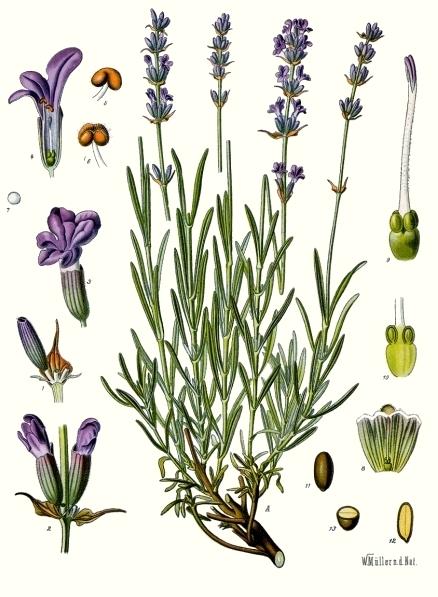 La lavande (Lavandula angustifolia)