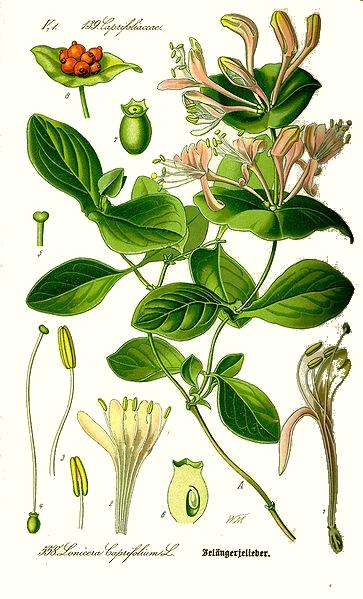 Le chèvrefeuille des jardins (Lonicera caprifolium)