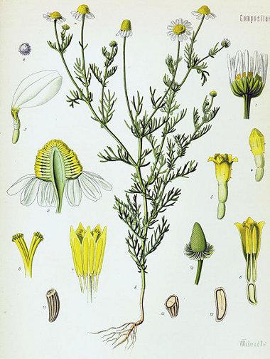 La camomille (Matricaria recutita)