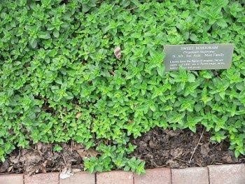 La marjolaine (Origanum majorana)