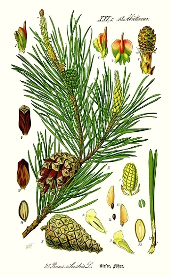 Le pin sylvestre (Pinus sylvestris)