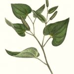 Poivre long (Piper longum)