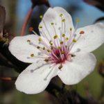 Fleur de prunier myrobolan (Prunus cerasifera)