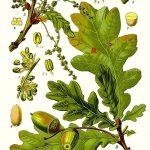 Le chêne (Quercus robur)
