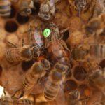 Le cycle de développement des abeilles