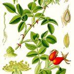 L'églantier (Rosa canina)
