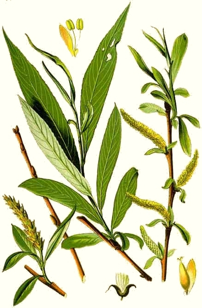 Le saule doré (Salix alba vitellina)