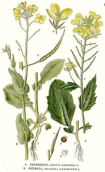 La moutarde des champs (Sinapis arvensis)