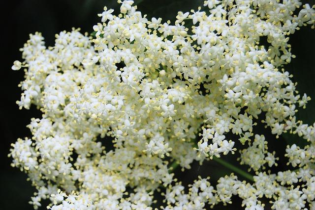 Fleurs de sureau noir (Sambucus nigra)