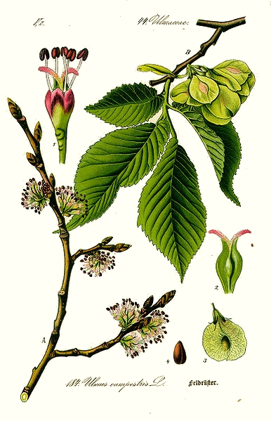 Orme (Ulmus procera)