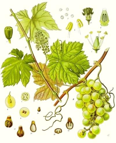 La vigne (Vitis vinifera)